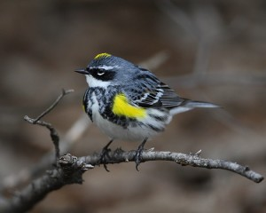Yellow-rumped warbler in the brush pile near the feeders.