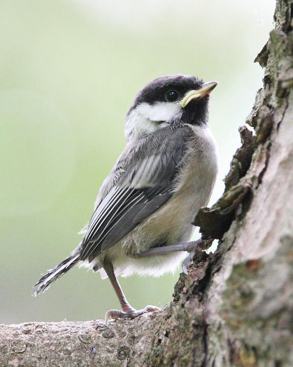 Fledgling chickadee on its first day in the big wide world!