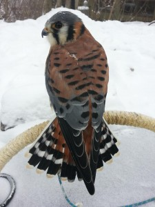 The American kestrel at Richardson Nature Center. This is a colorful male.