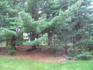 Pine/spruce tree section in the north east corner of the yard