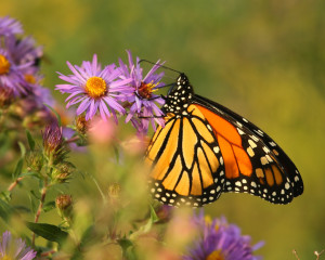 Late season monarch on Aster