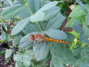 Wandering glider, seen Sept 27
