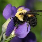 Brown belted bumblebee on wild indigo