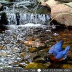 Male bluebird caught on the trail cam