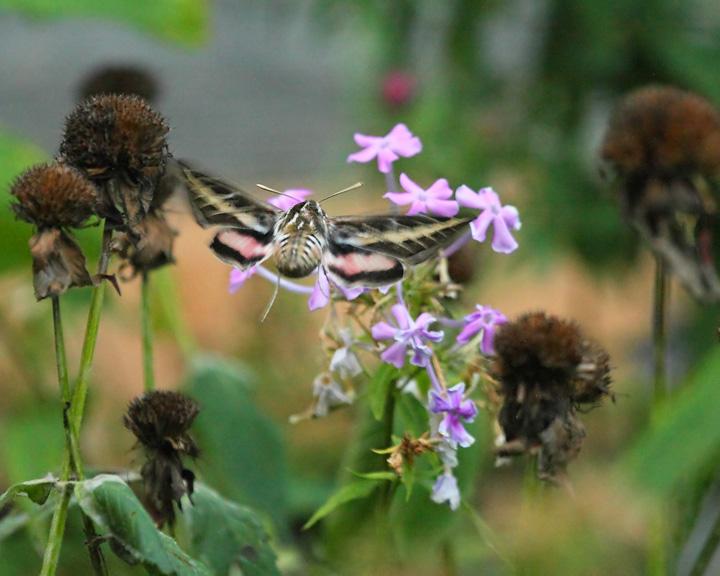 White lined sphynx moth